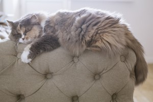 cute fluffy cat sleeps on the back of the sofa